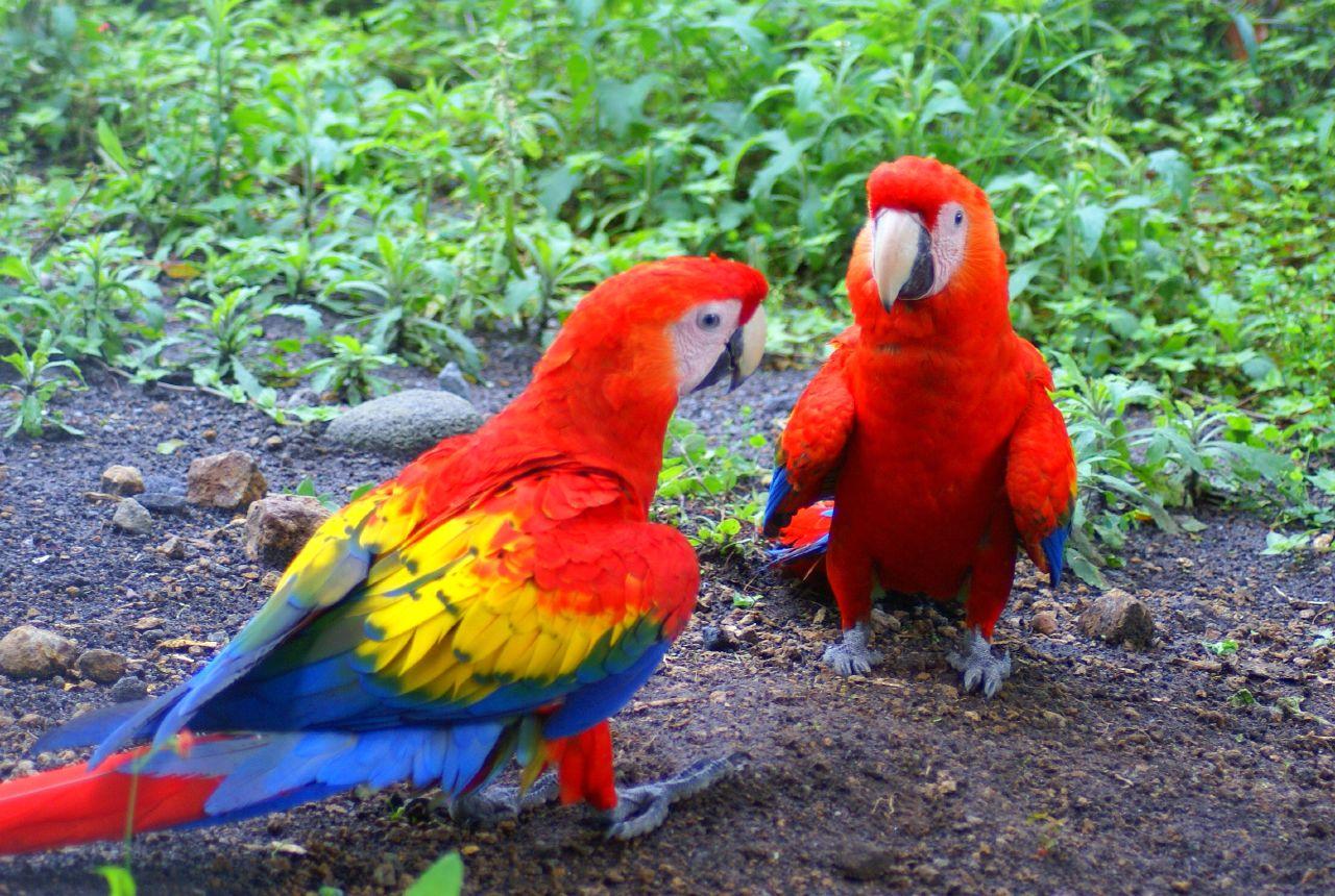 beautiful-parrots-wild-birds-wild-life